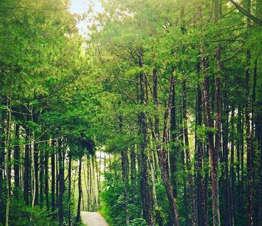 hutan pinus kulon progo